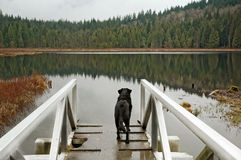 Wondering dog. Dog ( labrador ) standing on a look-out near lake, and stearring at the view Royalty Free Stock Photography