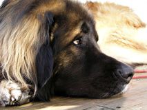 Wondering leo. A leonberger resting stock images
