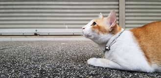 Wondering orange and white Cat lays down on the street and gazing something. Wondering orange and white colour cat lays down on the street and gazing something royalty free stock photography