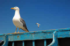 Wondering seagull. Wondering standing seagull with another flying seagull Stock Photo