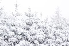 Wonderland Fir trees covered snow Beautiful Winter landscape scene background with snow covered trees Beauty winter backdrop. Frosty trees in snowy forest royalty free stock photo