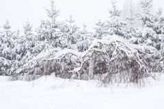 Wonderland Fir trees covered snow Beautiful Winter landscape scene background with snow covered trees Beauty winter backdrop. Frosty trees in snowy forest stock images
