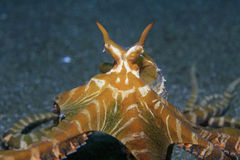 Wonderpus octopus Royalty Free Stock Image