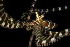Wonderpus octopus. Close up Wonderpus octopus on black background Royalty Free Stock Photos