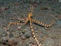 Wonderpus octopus 02 Stock Images