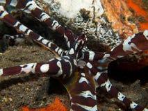 Wonderpus octopus 01 Stock Photography