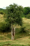 Wonders of life. Very old, hollow, pear tree still green and full with fruit on its last branch stock photography