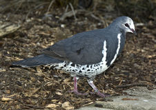 Wonga Pigeon. The Wonga Pigeon (Leucosarcia Melanoleuca) from Australia royalty free stock images