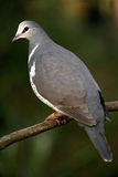 Wonga Pigeon. On branch, a tropical Australian bird Royalty Free Stock Images
