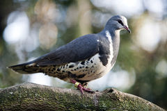 Wonga Pigeon Royalty Free Stock Photos