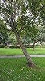 Wonky träd Fotografering för Bildbyråer