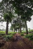 Wonosari Herbaciana plantacja Malang, Indonezja zdjęcia royalty free