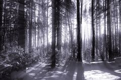 Wonter forest Royalty Free Stock Photo