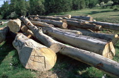 Wood. Hacked trees. Trunks. Raw wood Stock Photo
