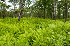 Wood. The wild wood, between trees grows ferns Stock Image