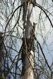 Wood, affected by bark beetle. Dead tree trunk and peeling bark. Russia Stock Image