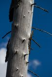 Wood, affected by bark beetle. Dead tree trunk and peeling bark. Russia Royalty Free Stock Images