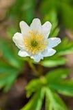 Wood anemon Royaltyfria Foton