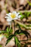 Wood anemon Royaltyfri Foto