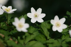 Free Wood Anemone Royalty Free Stock Images - 12253369