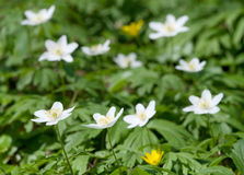 Wood anemone Stock Photography
