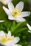 Wood anemone Royalty Free Stock Photos