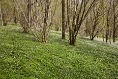 Wood anemone Royalty Free Stock Images
