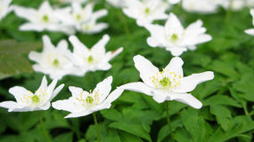 Wood anemone Royalty Free Stock Image