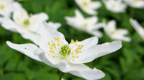 Wood anemone Stock Photo
