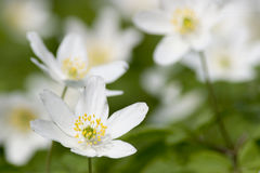 Free Wood Anemone Royalty Free Stock Images - 2073349
