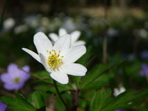 Free Wood Anemone Stock Photo - 2312130