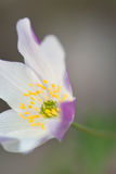 Wood anemone Stock Image