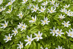 Free Wood Anemone Royalty Free Stock Photography - 30986017