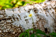 Wood anemone Royalty Free Stock Photo