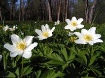 Free Wood Anemone Stock Photography - 775252