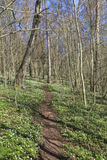Wood anemone forest Royalty Free Stock Image