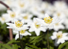 Wood anemone (Anemone nemorosa) Stock Photo