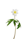 Wood anemone (Anemone nemorosa) Stock Images