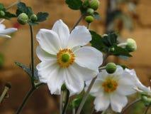 Wood Anemone, Anemone Nemorosa blooming. Beautiful summer white garden flowers. Wood Anemone, Anemone Nemorosa blooming. Beautiful summer white garden flowers royalty free stock photography