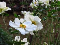Wood Anemone, Anemone Nemorosa blooming. Beautiful summer white garden flowers. Wood Anemone, Anemone Nemorosa blooming. Beautiful summer white garden flowers stock image