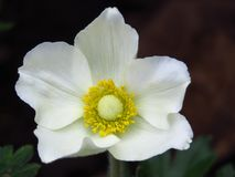Wood Anemone, Anemone Nemorosa blooming. White garden flowers with yellow stamens. royalty free stock photography