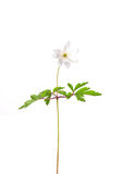 Wood anemone (Anemone nemorosa) Stock Photography