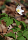 Wood anemone Anemone nemorosa Royalty Free Stock Images