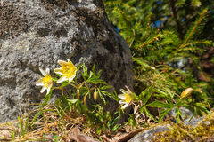 Wood anemone or Anemone nemorosa. With grey granite stone and evergreen trees in background Royalty Free Stock Photo