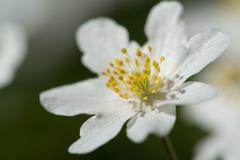 Wood anemone Anemone nemorosa. Macro photo of a Wood anemone stock photos