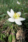 Wood anemone (Anemone nemorosa) Royalty Free Stock Photo