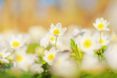 Wood Anemone, Anemone nemorosa Stock Photos