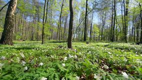 Wood Anemone Anemone nemorosa. Flowering, in woodland, southern Poland, Europe stock video footage