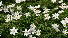 Wood anemone stock video footage