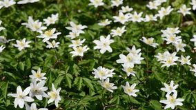 Wood anemone stock video